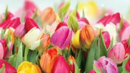 Photo of brightly coloured tulips in yellow, pink, red, and orange